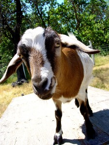 06JUNE Goats Return