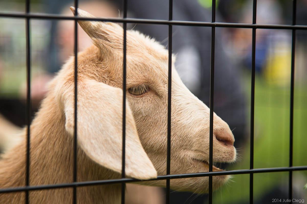 HighlandsDay2014 (152 of 310) Baby Goats