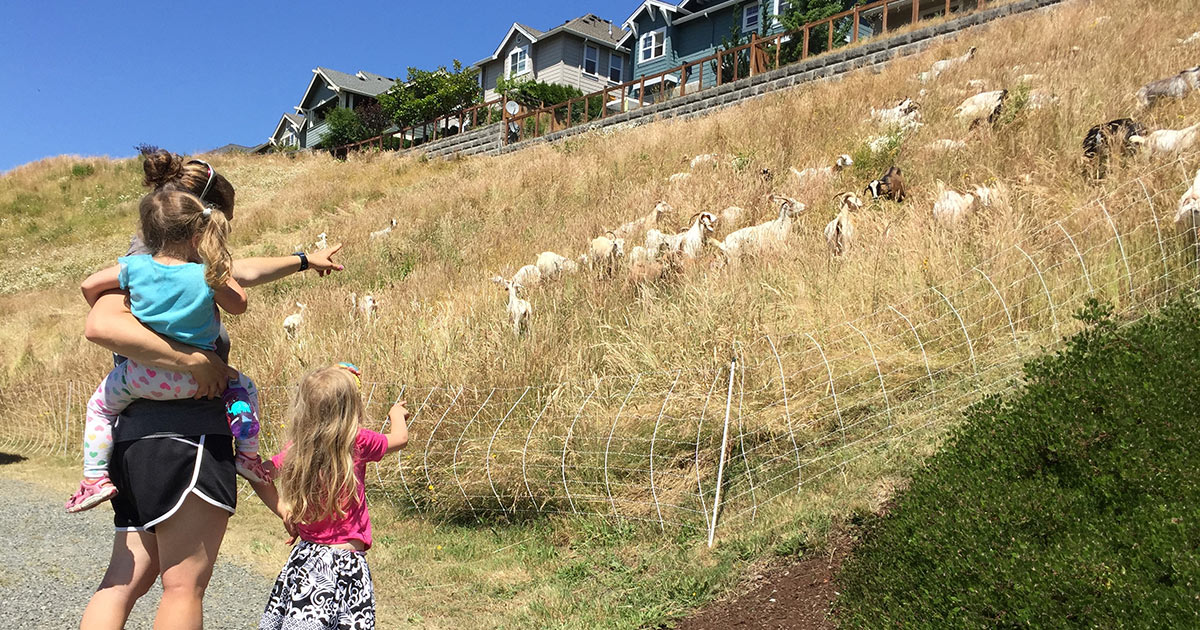 Goats in Issaquah Highlands