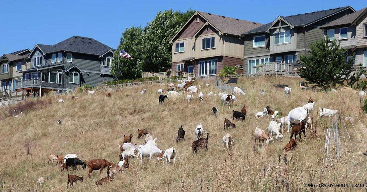 Healing Hooves Goats in Issaquah Highlands 2018