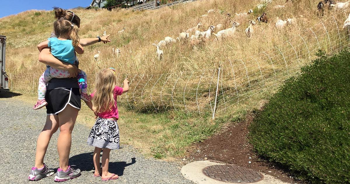 Issaquah Highlands goats