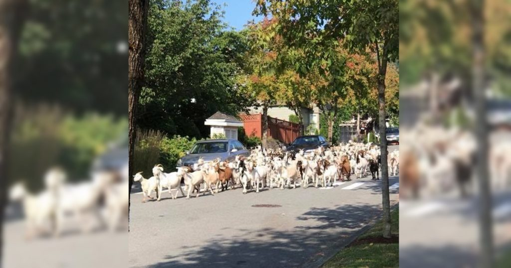 Issaquah Highlands Goat Escape 2019