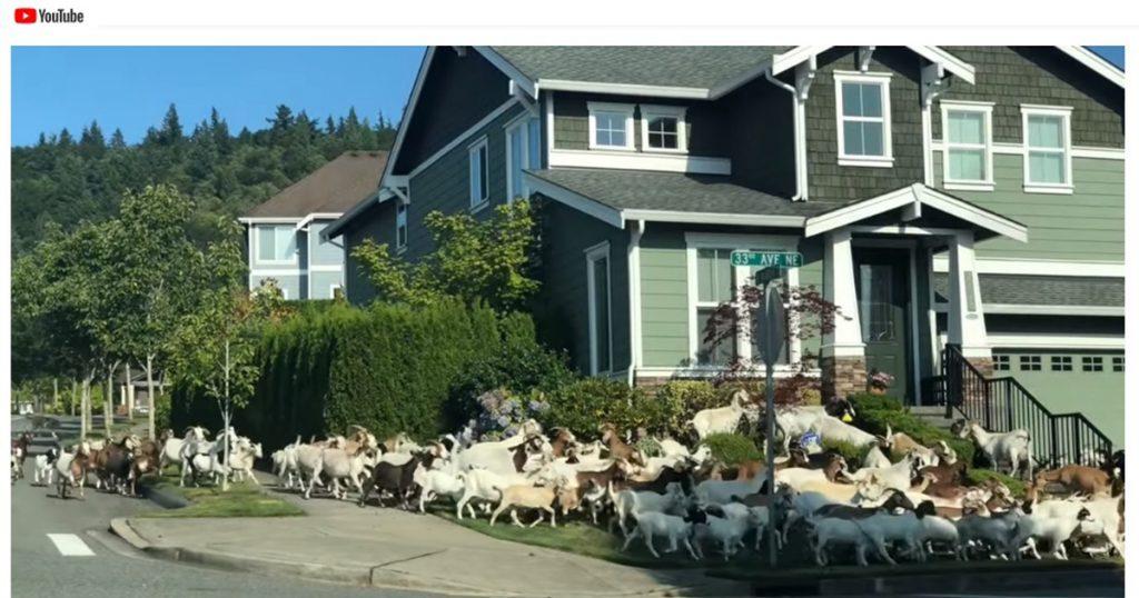 Viral Goat Video by Mark Svendsen