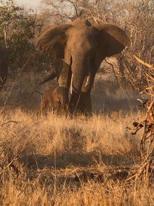 Elephants on safari South Africa