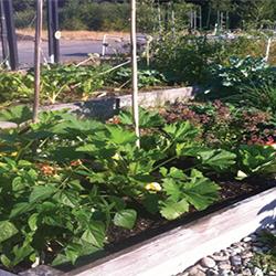 Vista Garden pea patch