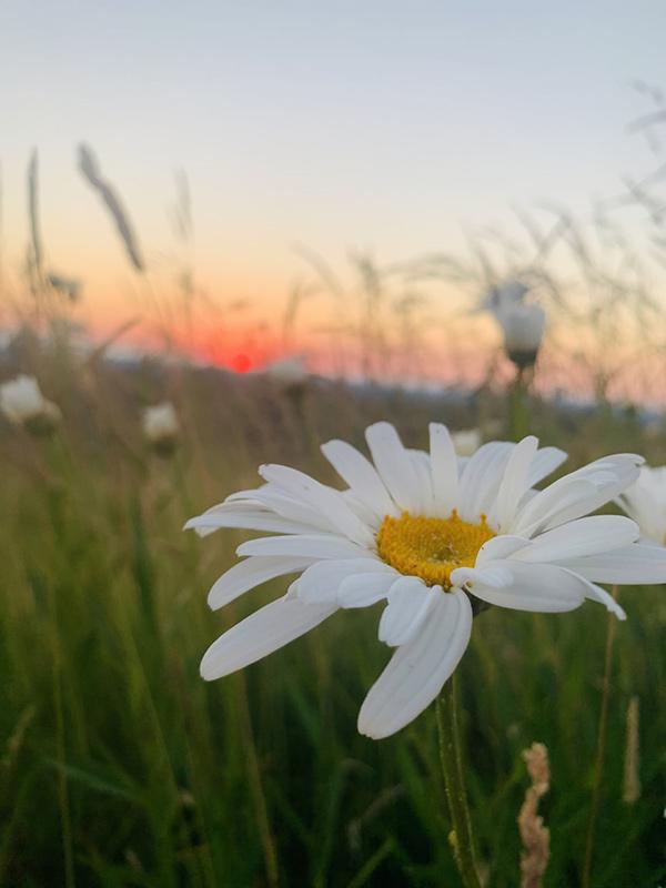 Issaquah Highlands sunset daisy