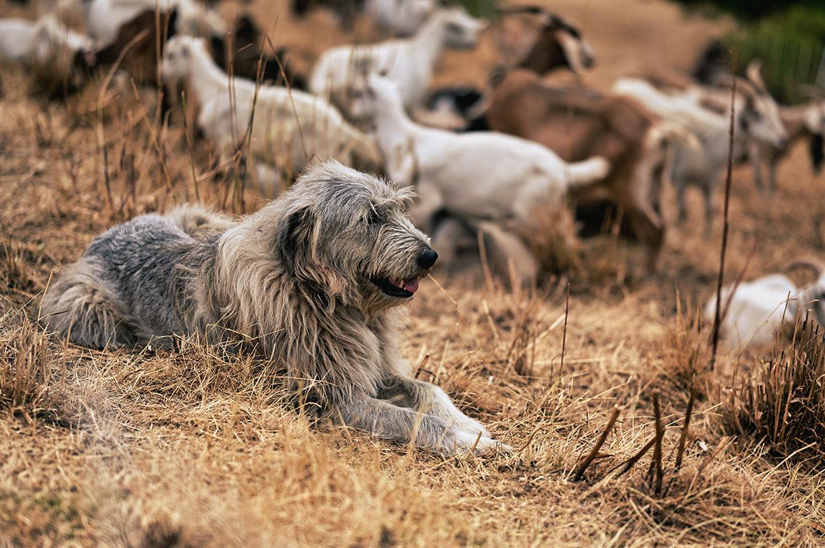Gigi shepherd dog goats